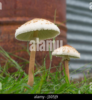 Wet weather, two 2 mushrooms growing after rain - Stock Photo