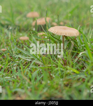 Tiny living mushrooms and raindrops in wet green grass after rainy weather - Stock Photo