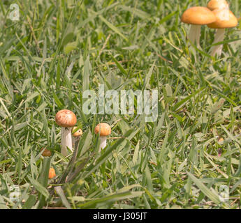 Orange  mushrooms in wet green grass after a rainy day for nature background - Stock Photo
