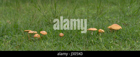 Live mushrooms growing in green grass panorama view - Stock Photo