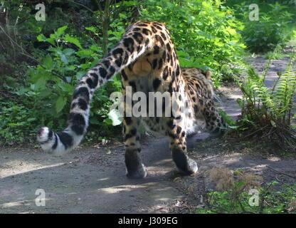 Male Amur or Far Eastern Leopard (Panthera pardus orientalis) flexing his muscles. - Stock Photo