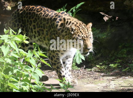 Amur or Far Eastern Leopard (Panthera pardus orientalis) on the prowl. Found in eastern Siberia and NE China and - Stock Photo