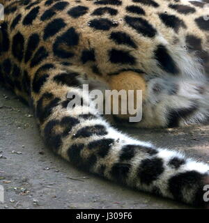 Closeup of the testicles of a male Amur or Far Eastern Leopard (Panthera pardus orientalis. (Critically endangered - Stock Photo