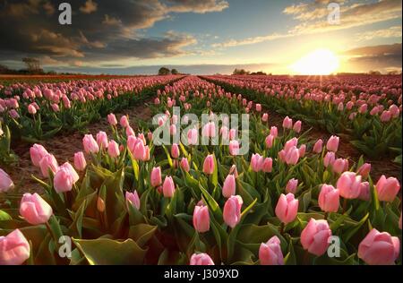 sunset over pink tulip field, Groningen, Netherlands - Stock Photo