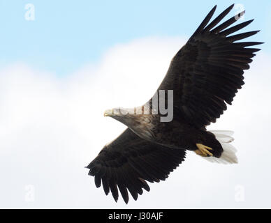 A White Tailed Sea Eagle (Haliaeetus albicilla) flies above a tourist boat. Raftsundet, Hadsel and Vågan, Nordland, - Stock Photo