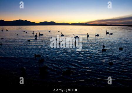 Schwäne und Bläßhühner im See vor der Kulisse der Chiemgauer Alpen im letzten Licht eines Novembertages * swans - Stock Photo