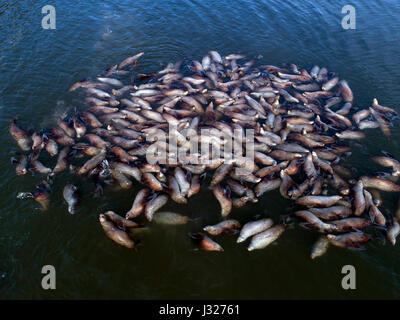 Aerial view of a large colony of Stellar Sea Lions awaiting the spring Hooligan runs in the Lynn Canal near Haines - Stock Photo