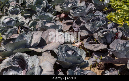 Fresh Ripe Red Cabbage Grows On A Small Organic Farm In Southern California Garden