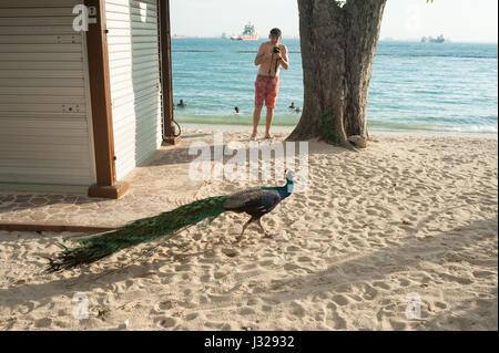 21.03.2017, Singapore, Republic of Singapore, Asia - A peacock walks along Palawan Beach on Sentosa Island. - Stock Photo