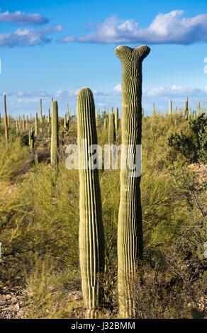 Rare Crested saguaro cactus plant in Saguaro National Park West near Tucson Arizona, USA - Stock Photo