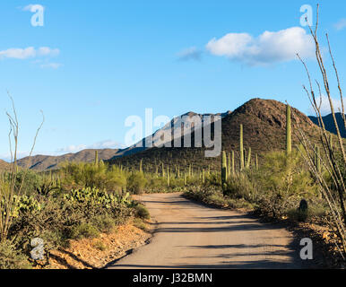 Many saguaro cactus plants line on a scenic desert road in Saguaro National Park West near Tucson, Arizona - Stock Photo
