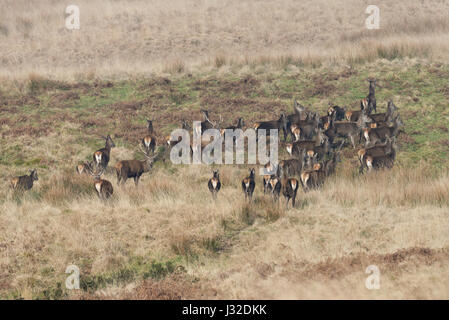 A herd of Red Deer grazing in the vicinity of Aldermans Barrow Allotment in the Exmoor National Park in Somerset, - Stock Photo