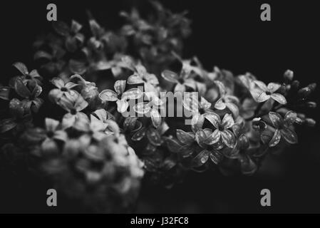Black and white image of spring flowers in a garden after the rain. - Stock Photo