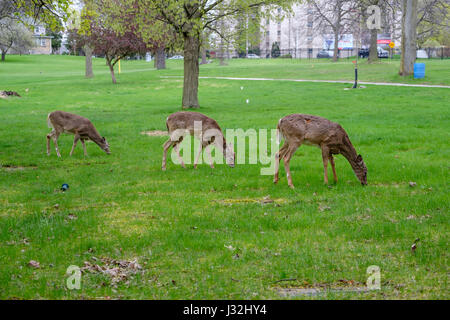 Herd of young white-tailed deer (Odocoileus virginianus), male, female, doe, buck, grazing, urban environment, London, - Stock Photo