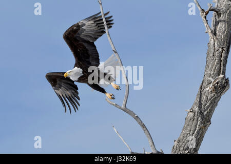 Bald Eagle / Weisskopfseeadler ( Haliaeetus leucocephalus ), adult on a nice winter day, taking off from a cottonwood - Stock Photo