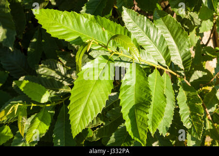 Sweet Chestnut (Castanea sativa) leaves, England, UK - Stock Photo