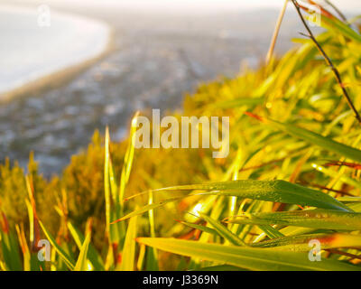 Dew drops on New Zealand flax catches early morning sun on side of Mount Maunganui with out of focus town extends - Stock Photo