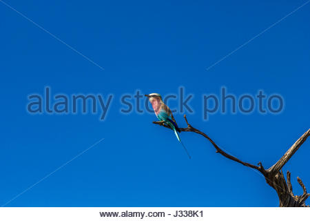 A Lilac-breasted Roller perched on a dead twig. - Stock Photo