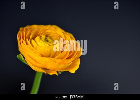 yellow ranunculus with dark background, Hamburg, Germany - Stock Photo