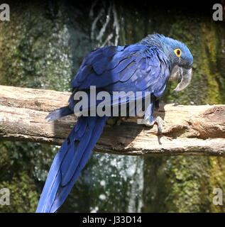 South American Hyacinth Macaw (Anodorhynchus hyacinthinus). Largest parrot species in the world, found in Brazil, - Stock Photo