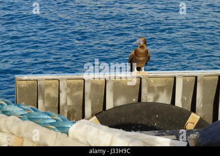 Juvenile brown booby (Sula leucogaster) in a sea port - Stock Photo