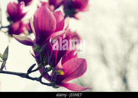 Close Up Of <b>Magnolia Flowers</b> At <b>Blurred</b> Tree Blossom, Springtime ...