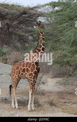 Reticulated giraffe browsing in acacia tree - Stock Photo
