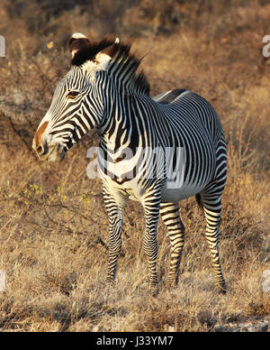 Grevy's zebra in Samburu National Reserve - Stock Photo