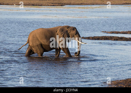African elephant Loxodonta africana wading in shallow water - Stock Photo