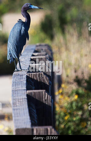 Little blue heron standing on fence - Stock Photo