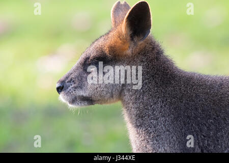 Swamp Wallaby - Stock Photo