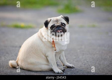 Little fat pug sitting on sidewalk in summer park. - Stock Photo