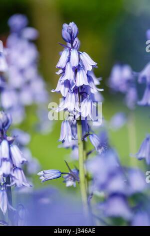 Closeup of bluebell flowers blue bell garden - Stock Photo