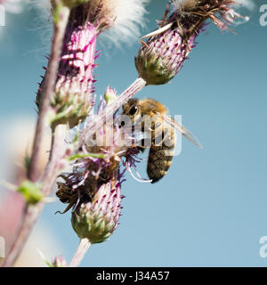 Close-up portrait of a bee at pollination flowering plants - Stock Photo