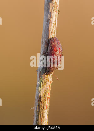 A dew covered Darkling Beetle (Epitragodes tomentosus) perches on its overnight roost on a plant stem early in the - Stock Photo