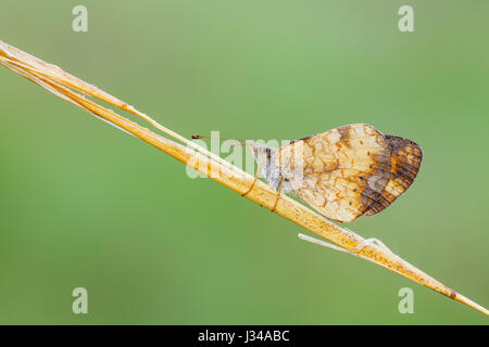 A dew covered Pearl Crescent (Phyciodes tharos) butterfly perches on its overnight roost on a plant stem early in - Stock Photo