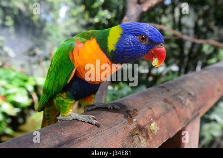 Rainbow Lorikeet feeding (Trichoglossus haematodus), Birdworld, Kuranda, Far North Queensland, FNQ, QLD, Australia - Stock Photo