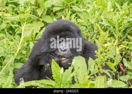 Critically endangered young mountain gorilla (Gorilla beringei beringei) of the Agashya group, taken in the Volcanoes - Stock Photo