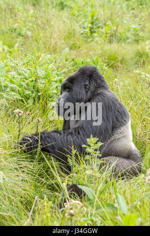 Critically endangered mountain gorilla (Gorilla beringei beringei) silverback, Agashya, taken in the Volcanoes National - Stock Photo