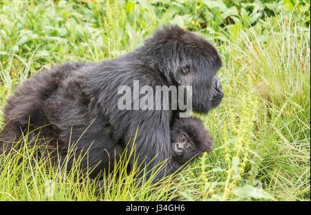 Critically endangered mountain gorilla (Gorilla beringei beringei) mother and baby of the Agashya group, taken in - Stock Photo