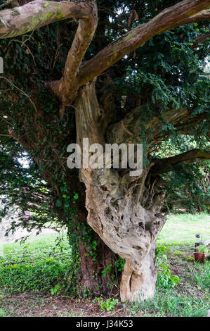 The Yew tree in the churchyard of St James', Cooling, grows out of the remains of an even older tree. - Stock Photo