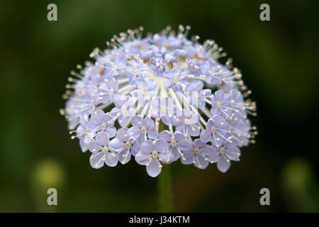 Trachymene coerulea - Stock Photo