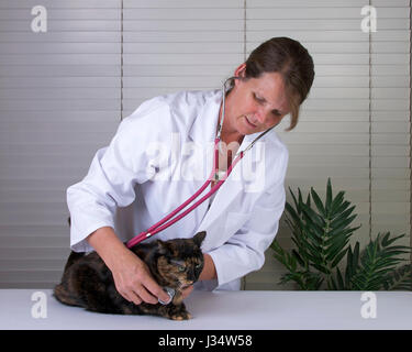 Model released image of female caucasian veterinarian examining Female Tortoiseshell Tabby Cat on exam table, blinds - Stock Photo