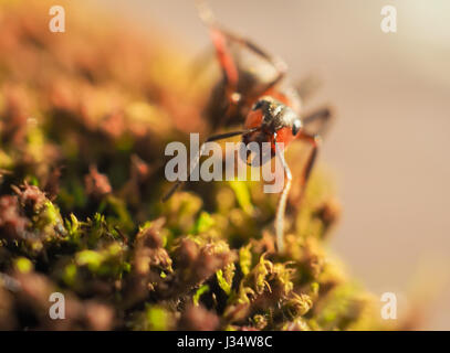 Black ant on green moss while explorer small world.