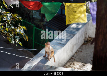 Cute juvenile rhesus macaque monkey (Macaca mulatta) looking at colourful Tibetan prayer flags, McLeodGanj, Dharamshala, - Stock Photo