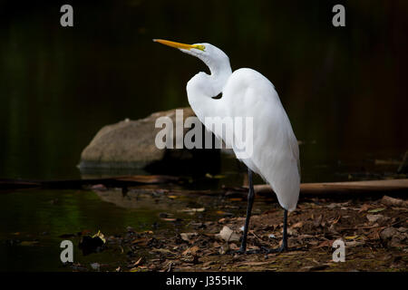 Great White Egret looking up - Stock Photo