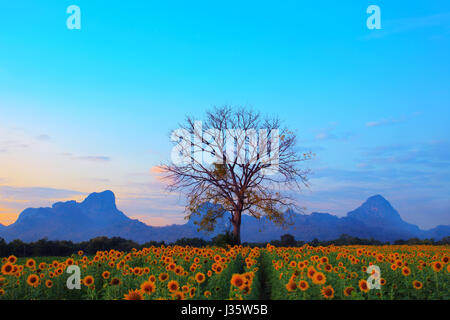 beautiful dry tree branch against colorful dusky sky and sunflowers field below use as natural background ,backdrop - Stock Photo