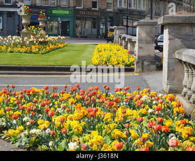The beautiful planting of primulas and tulips outside the Crown Hotel in the Montpellier district of Harrogate, - Stock Photo