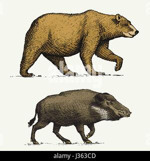 wild Bear grizzly and boar or pig engraved hand drawn in old sketch style, vintage animals - Stock Photo