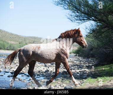 Salt River Wild Horses in Arizona - Stock Photo